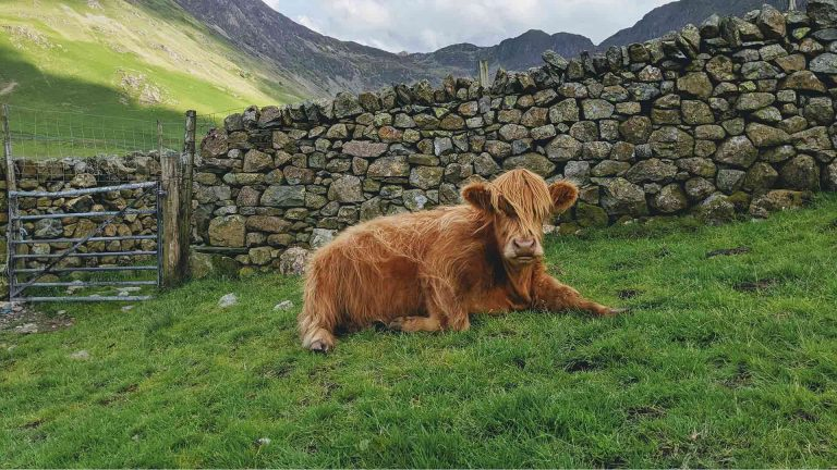 A cow sits in front of a stone wall